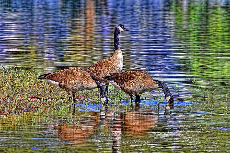 Three Canada Geese At The Lake  by HH Photography of Florida