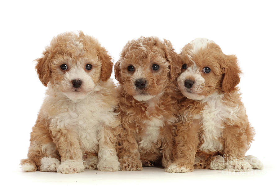 Three Cavapoochon puppies by Warren Photographic