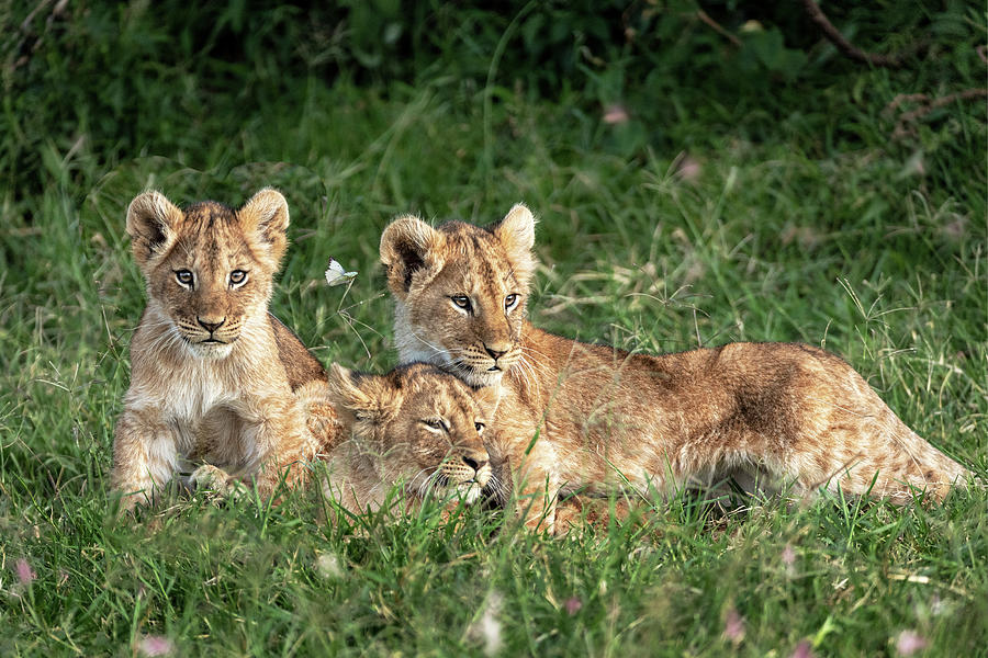 Three Cute Lion Cubs In Kenya Africa Grasslands Photograph