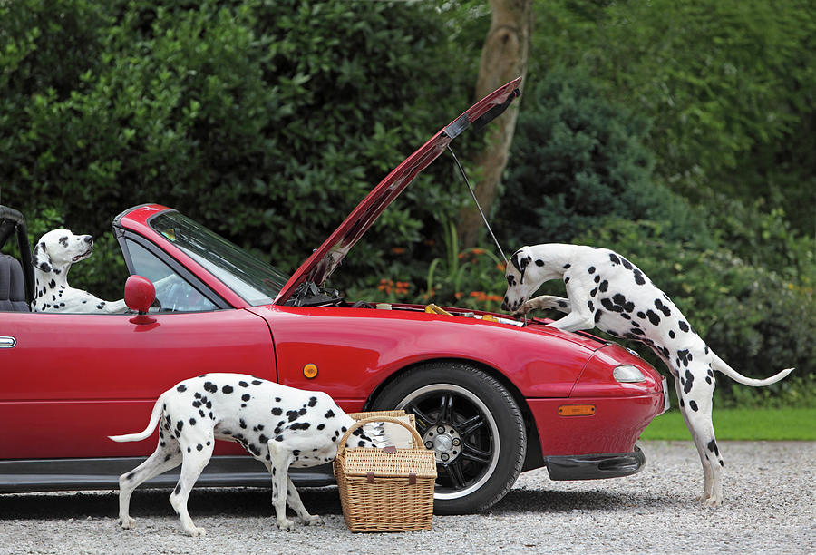 Three Dalmatians Around Red Sports Car Photograph by Peter Cade