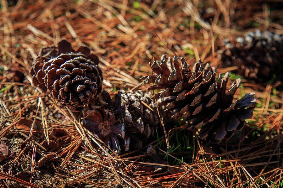 Three Fallen Pine Cones by Doug Camara