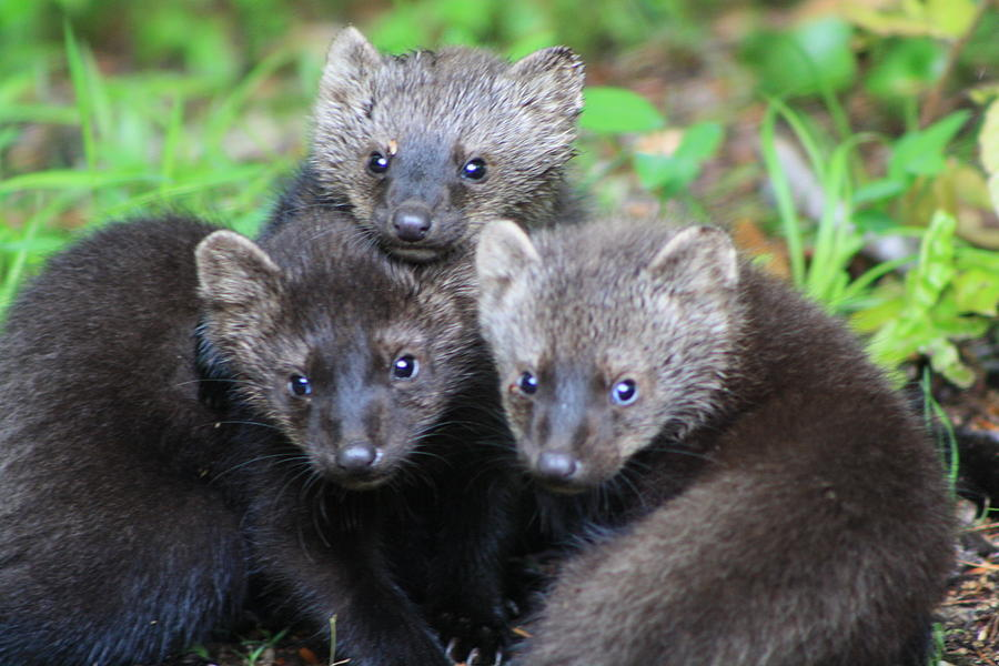 Pictures Of Young Fisher Cats - Brisia Blog