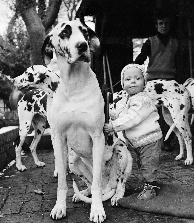 Three Great Danes Photograph by Ronald Dumont