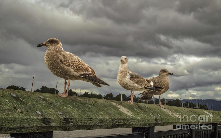 Three Gulls by Mitch Shindelbower