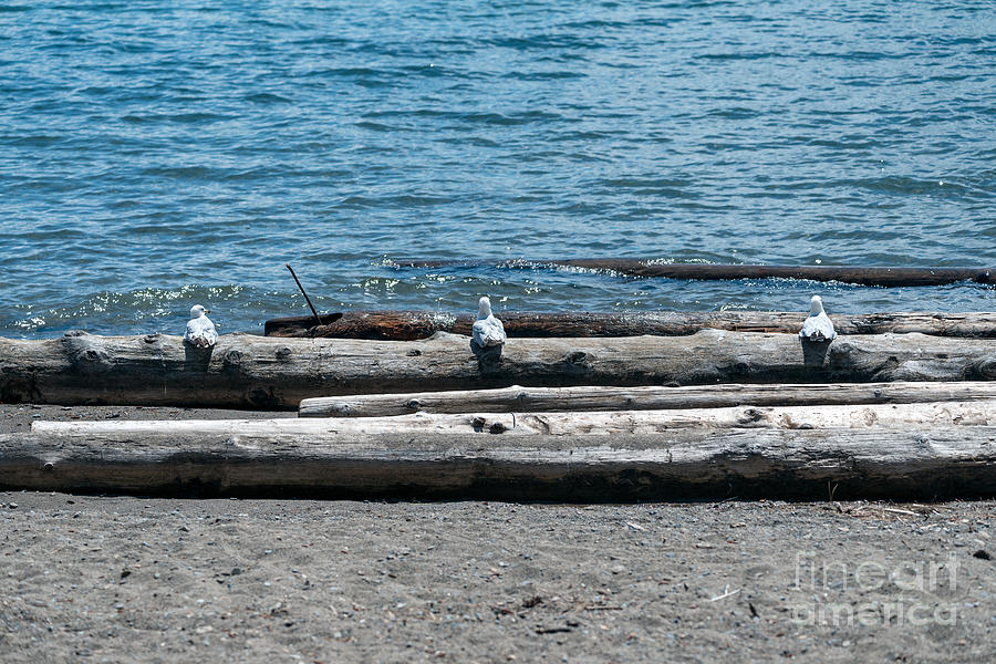 Three Gulls on A Log by Matthew Nelson
