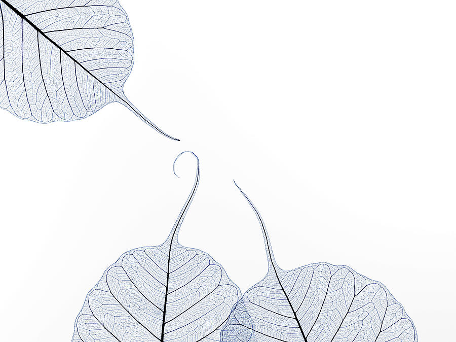 Three Leaf Skeletons With Copy Space Photograph by Peter Dazeley