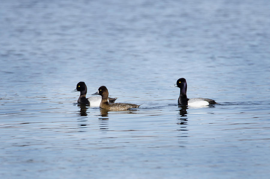 Three Lesser Scaups by Susan McMenamin