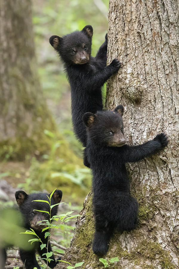 Bear Photograph - Three Little Bears by Everet Regal