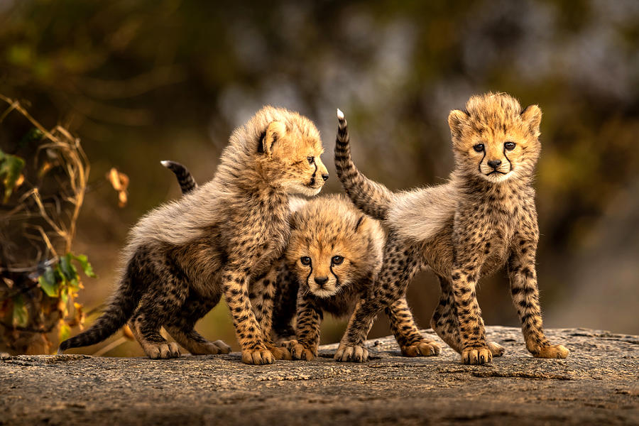 Cheetah Photograph - Three Little Cheetahs by Hung Tsui