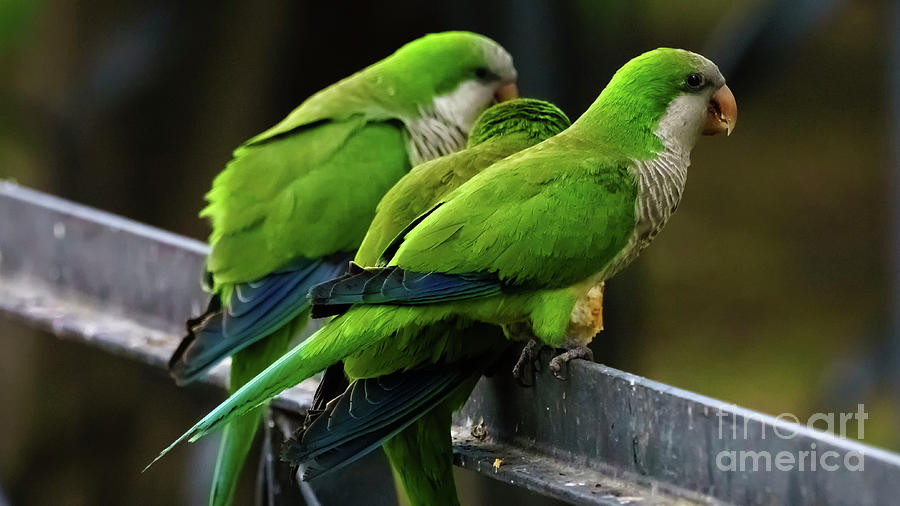Three Monk Parakeets Perched on a Fence by Pablo Avanzini