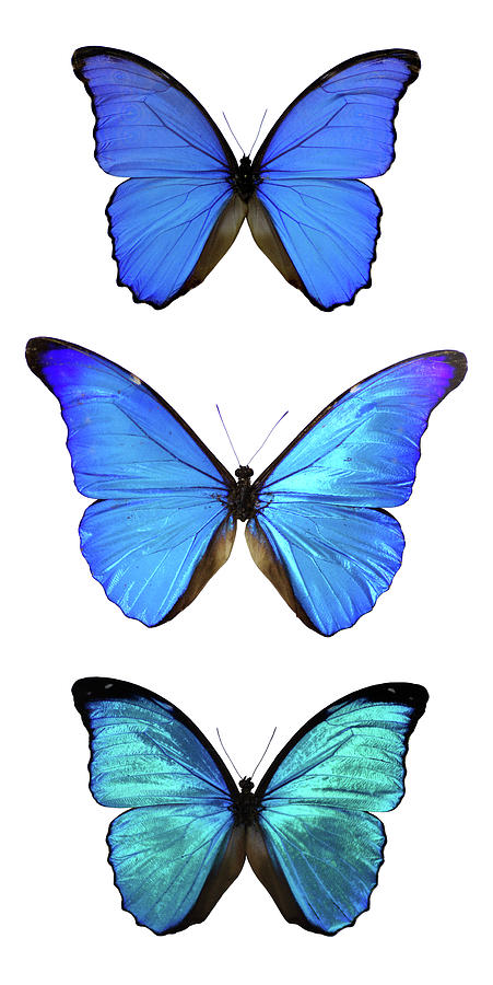 Three Morpho Butterflies Photograph by Imv