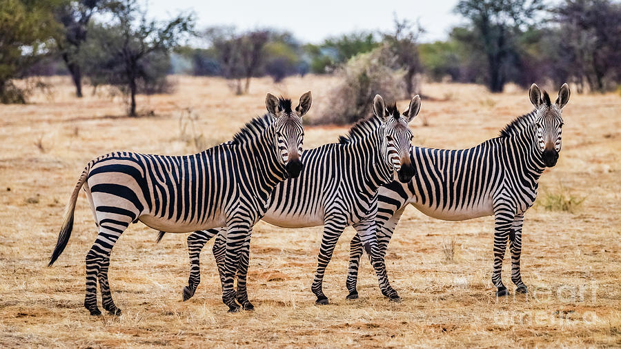 Three mountain zebras, Namibia by Lyl Dil Creations