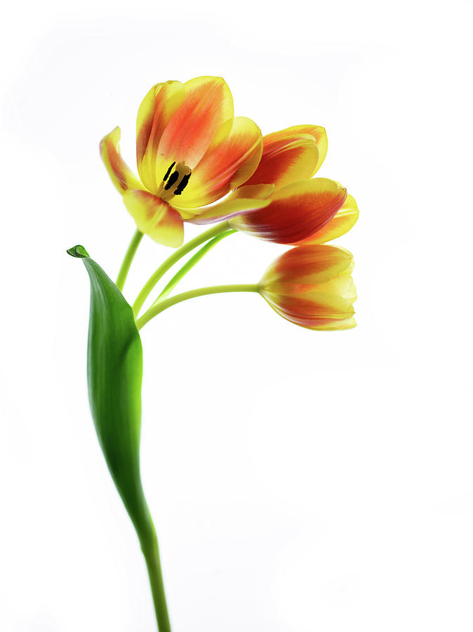 Three Orange Tulips by Rebecca Cozart