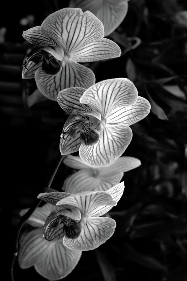 Three Orchid Flowers In Black And White Photograph By Allen Penton