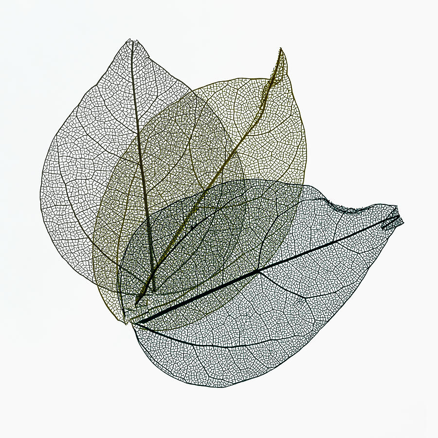 Three Overlapping Skeleton Leaves On White by Gary Slawsky