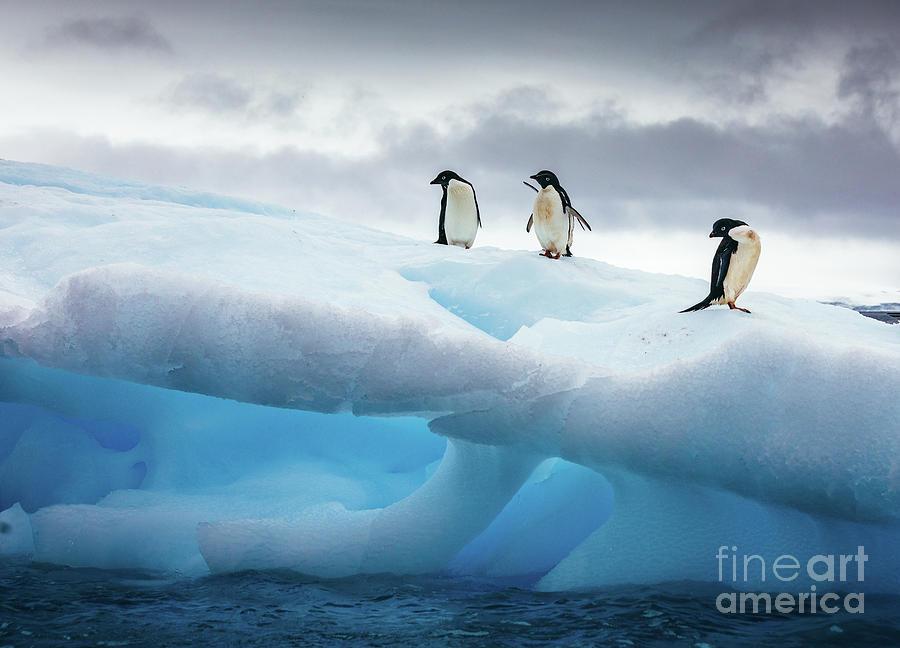 Three Penguins Standing On Iceberg Photograph by David Merron / 500px