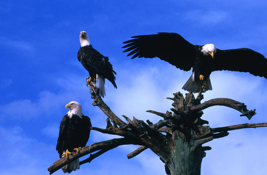 Three Perching Bald Eagles Haliaeetus Photograph by Mark  Newman