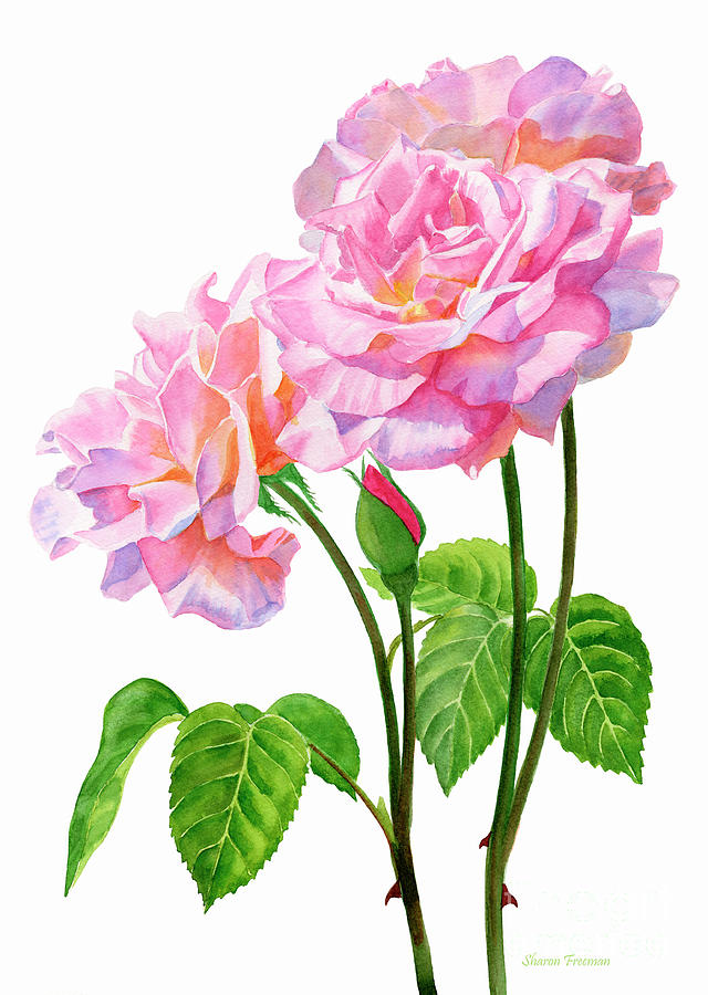 Pink Painting - Three Pink Roses with Leaves and Stems by Sharon Freeman
