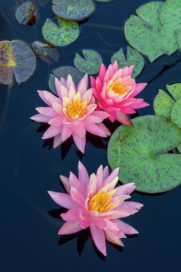 Three Pink Water Lilies by Lindley Johnson