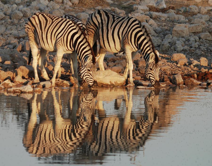 Three Plains Zebras Photograph by David Kiene