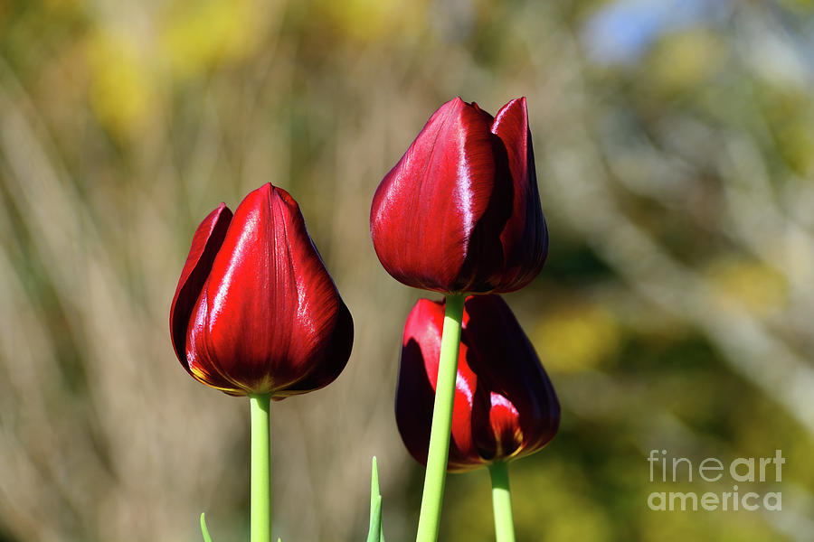 Three Red Tulips by Kaye Menner by Kaye Menner