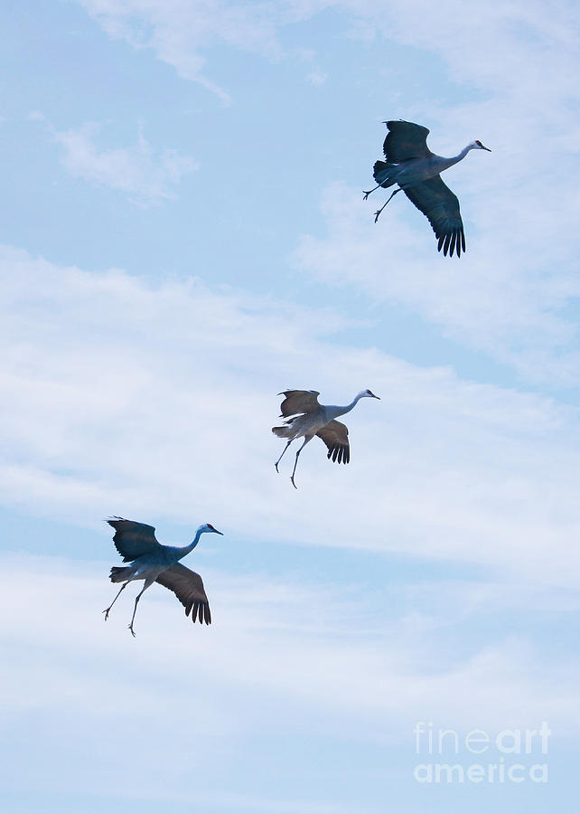 Three Sandhills Ready for Landing by Carol Groenen