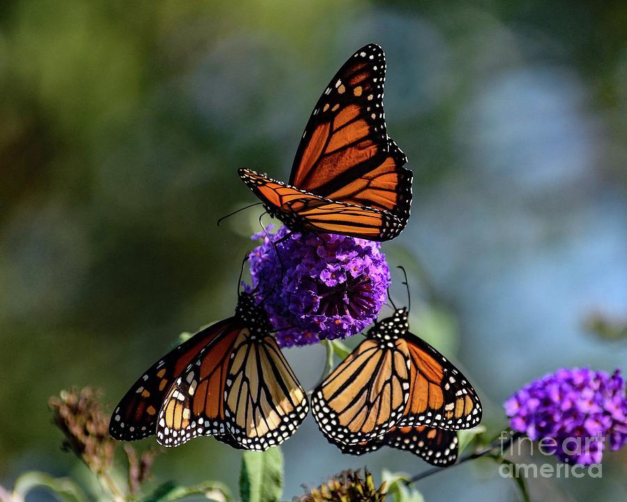 Three Stunning Monarchs Photograph