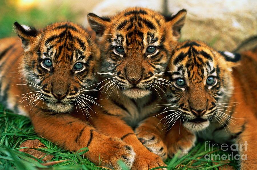 Three Sumartran Tiger Cubs Panthera Photograph by Schafer & Hill