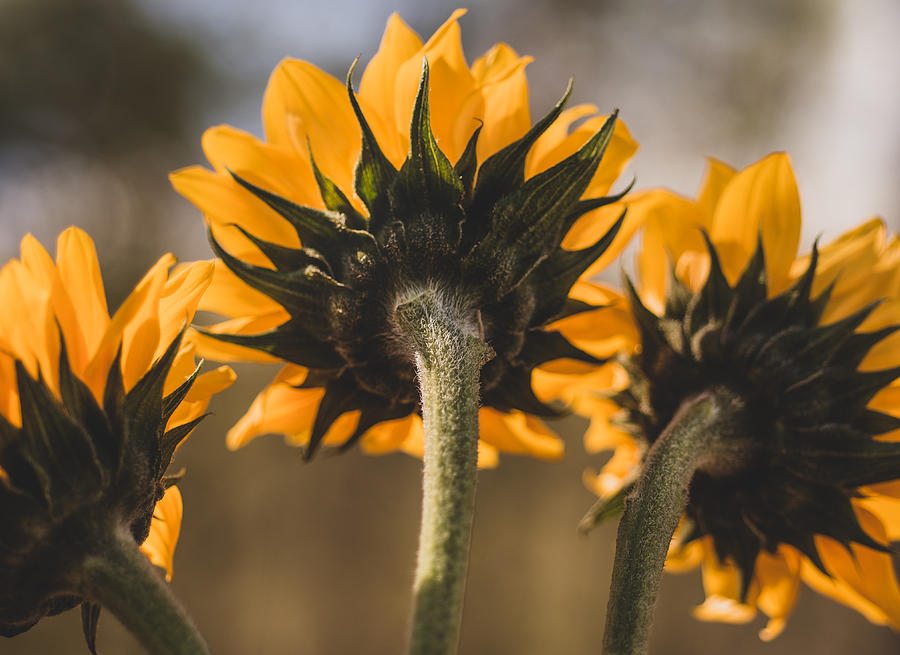 Three Sunflower Rear View by Keith Smith