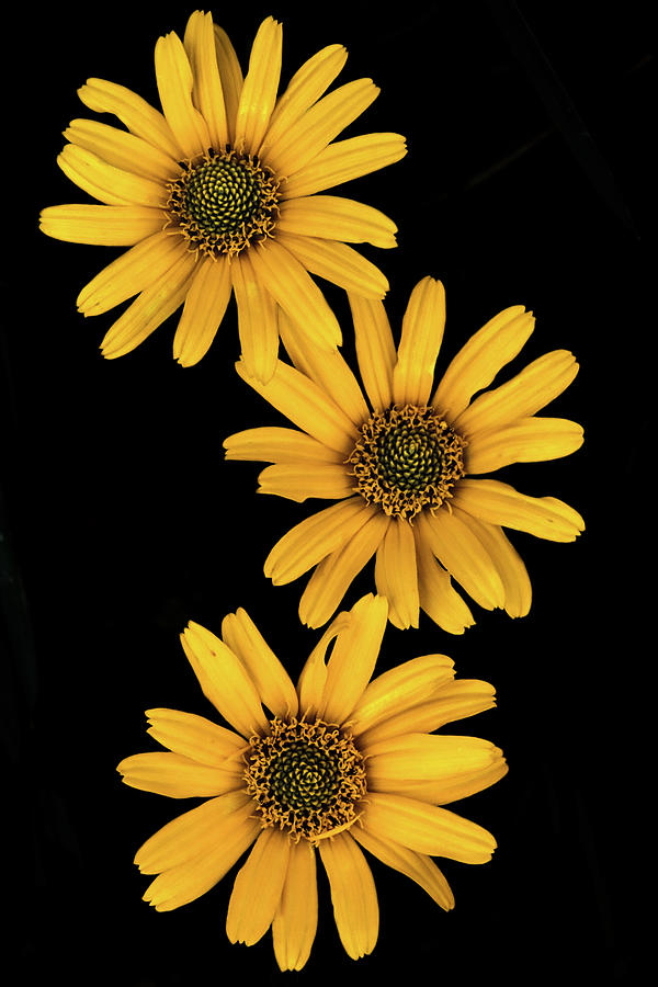 Three Sunflowers by Jeff Phillippi