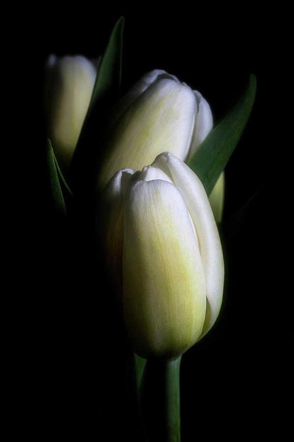 Three Tulips by Cyndy Doty