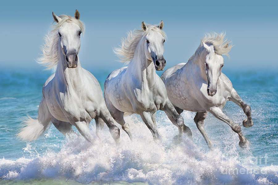 Equestrian Photograph - Three White Horse Run Gallop In Waves by Callipso