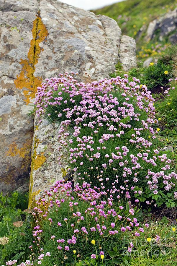 Thrift Photograph - Thrift (armeria Maritime) by Dr Keith Wheeler/science Photo Library