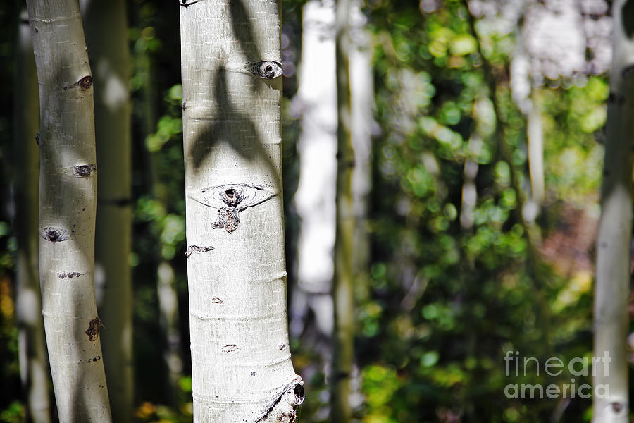 Nature Photograph - Through The Aspen Forest by Lincoln Rogers