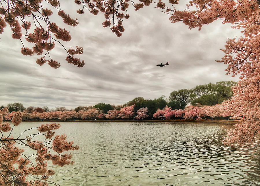 Tidal Basin Blossoms by Kathi Isserman