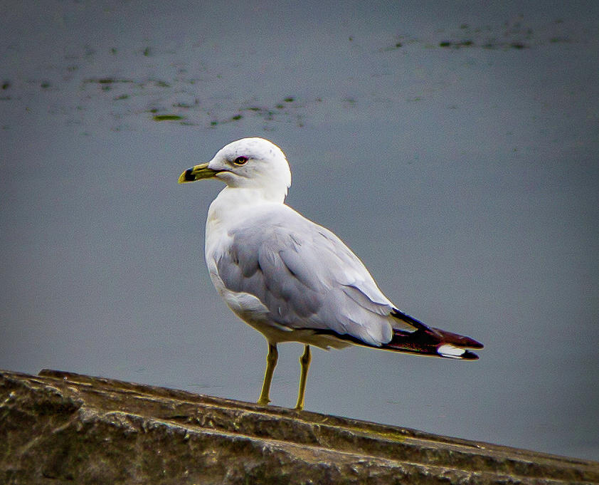 Tide Lock Gull by Lora J Wilson