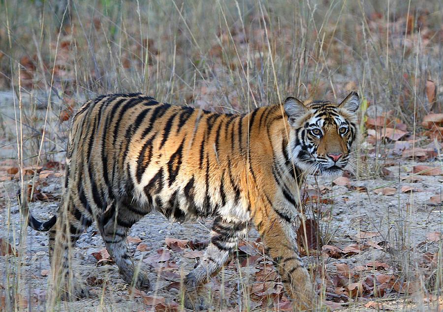 Tiger At Bandhavgarh Photograph by Photograph By Arunsundar