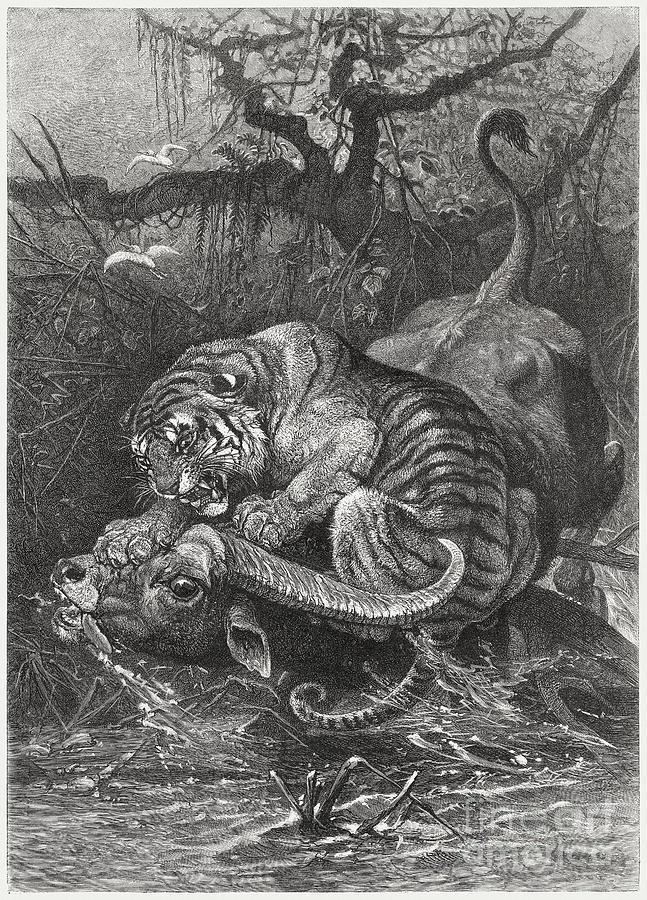Tiger Attacks A Water Buffalo, Wood Digital Art by Zu 09