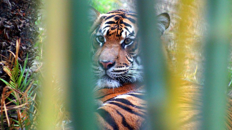 Tiger Photograph - Tiger Bamboo by Todd Hummel