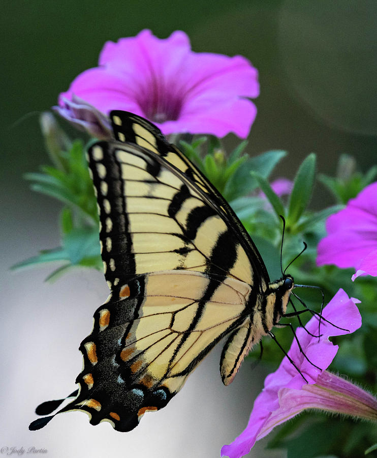 Tiger Beauty by Jody Partin
