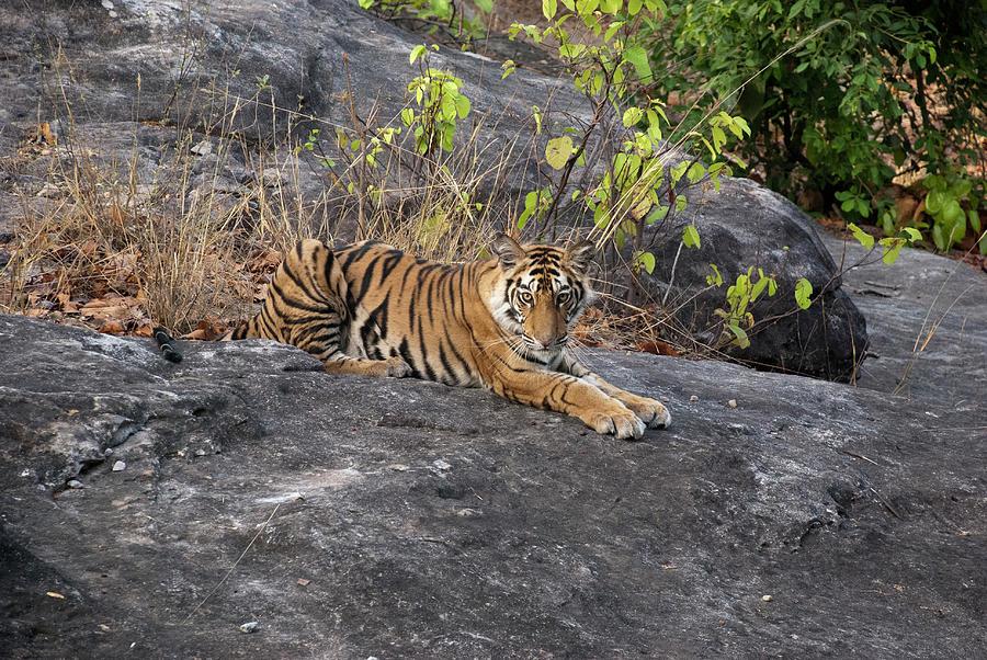 Tiger Cub Photograph by Chaithanya Krishna Photography