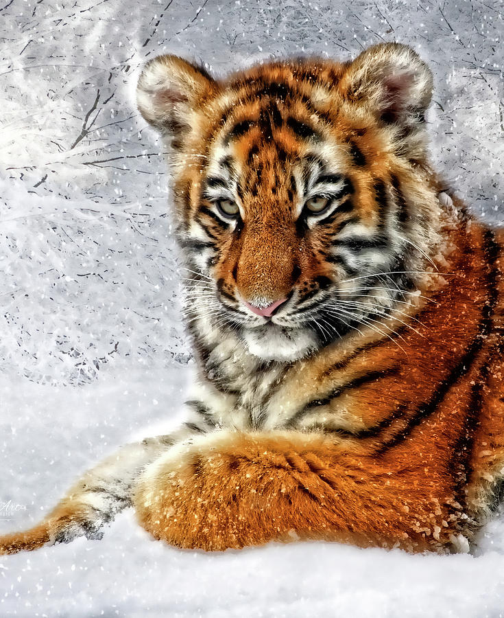 Tiger Digital Art - Tiger Cub In The Snow by Doreen Erhardt
