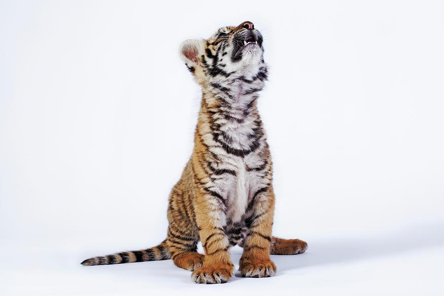 Tiger Cub Panthera Tigris Looking Up Photograph by Martin Harvey