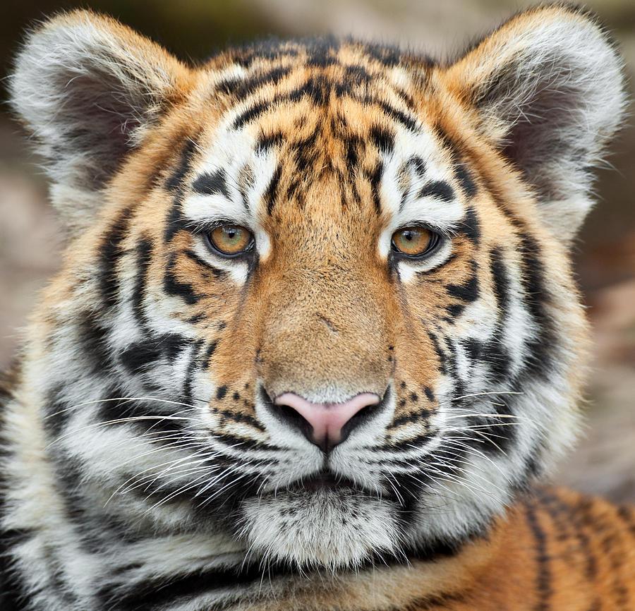 Tiger Cub Portrait Photograph by Andyworks