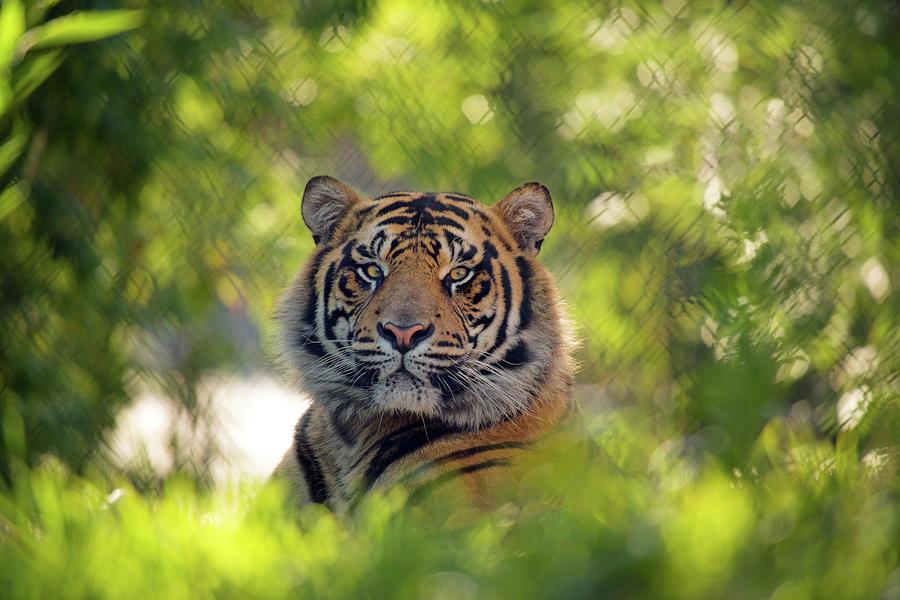 Tiger by Denise LeBleu