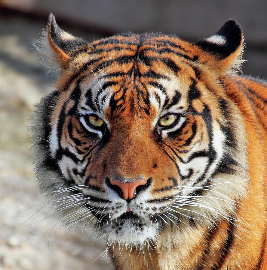 Tiger Face by Eduardo Cabral
