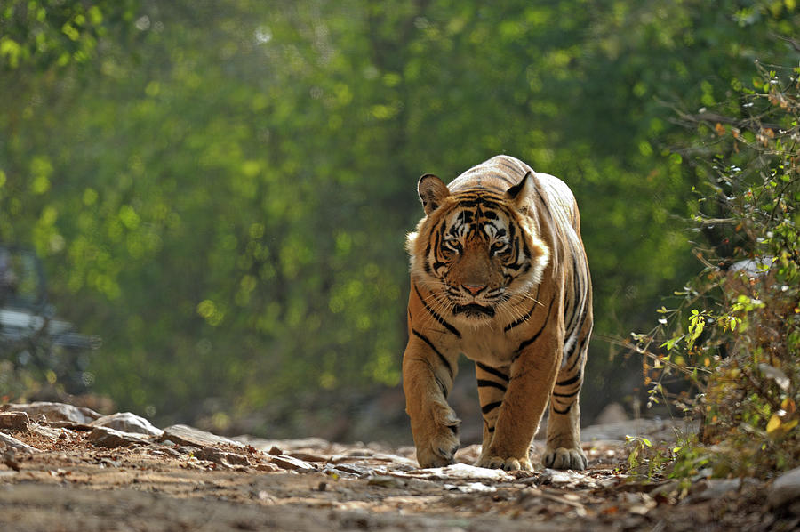 Tiger In Forest Photograph by Aditya Singh