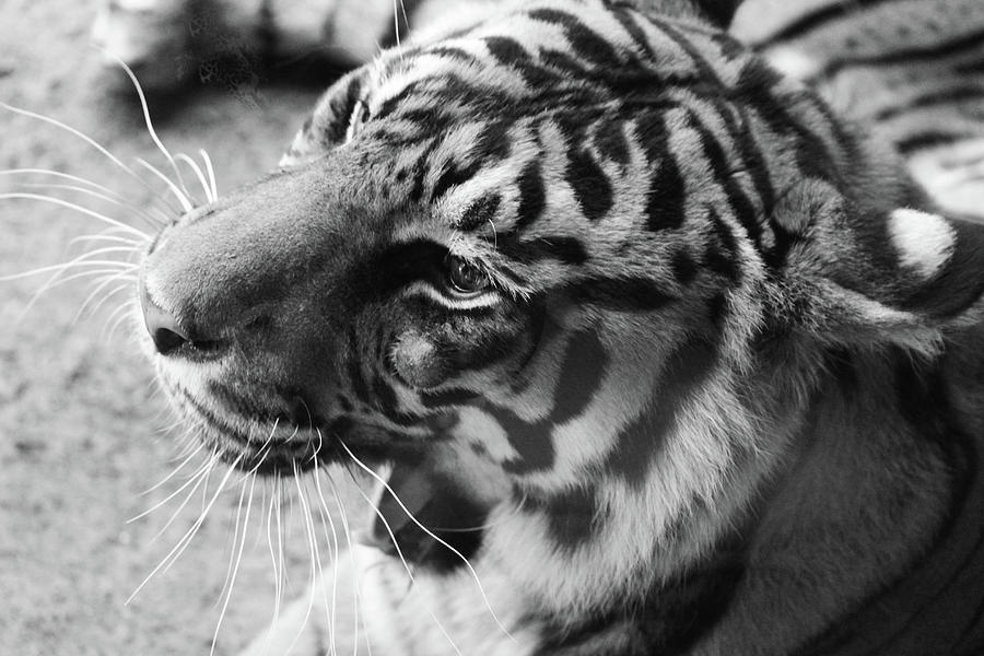 Tiger Photograph - Tiger in Rest by Alina Avanesian