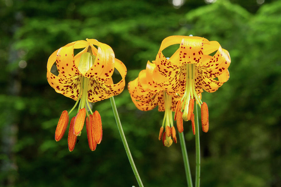 Tiger Lilies Photograph By Gibson Outdoor Photo
