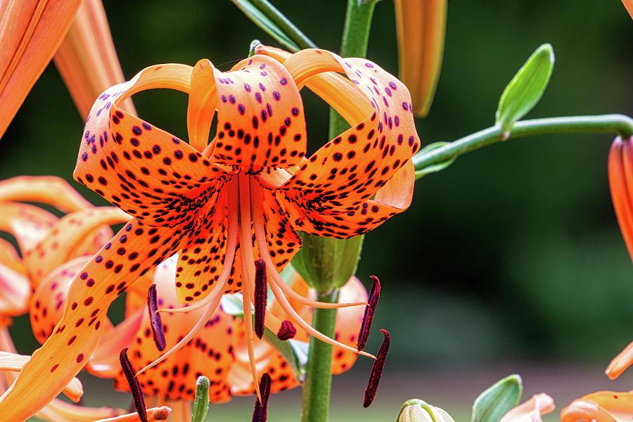 Tiger Lily by Randy Bayne